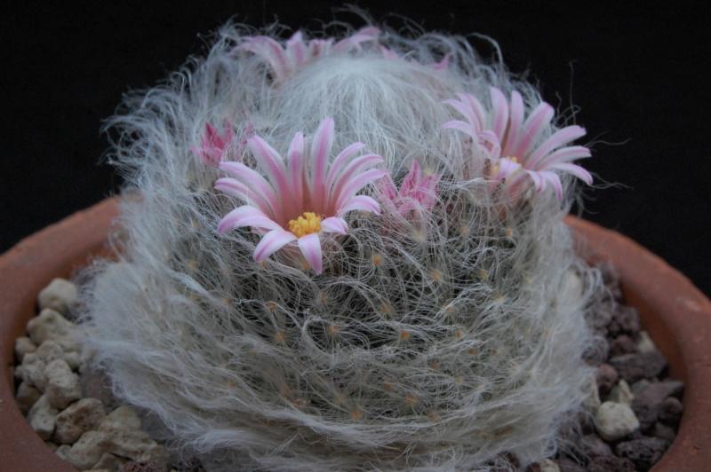 Mammillaria aureilanata      2361-212