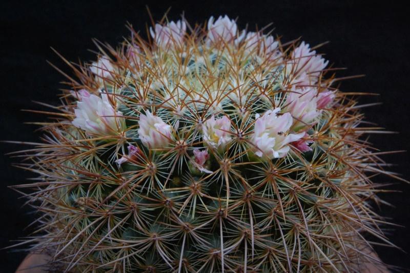 Mammillaria discolor 2437-210