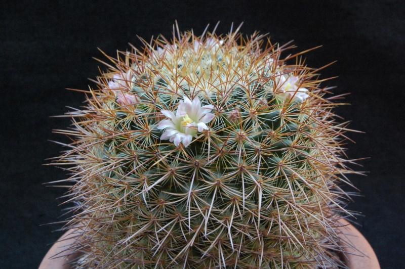 Mammillaria discolor 2437-211