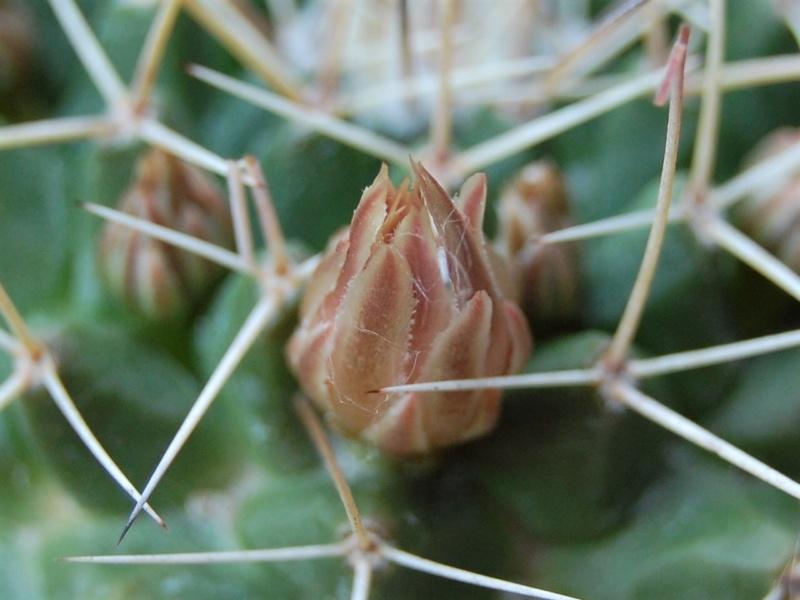 Mammillaria roseoalba 2451-210