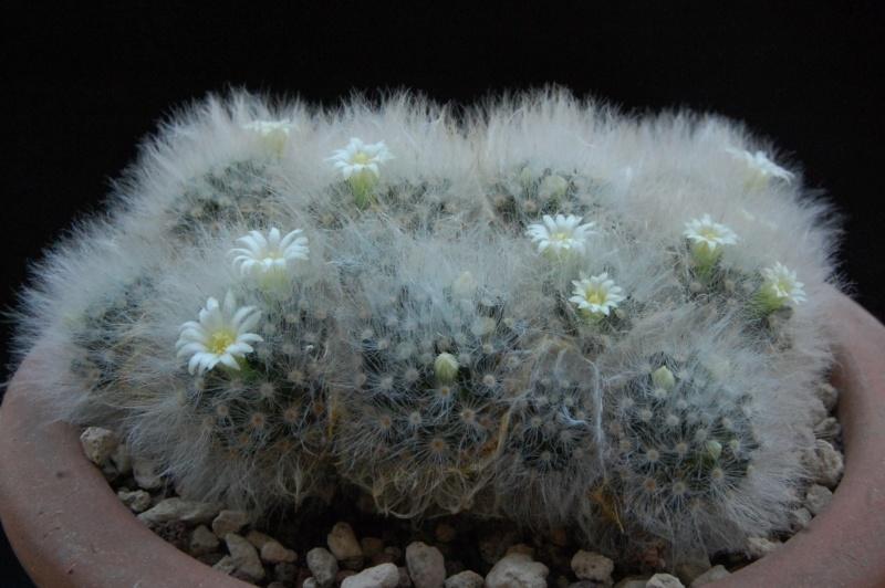 Mammillaria albicoma 2494-210
