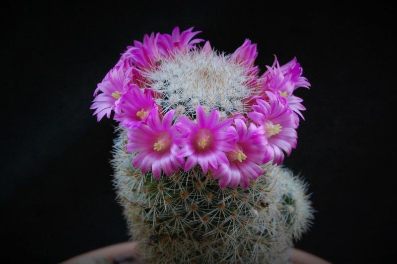 Mammillaria spinosissima 2533-211
