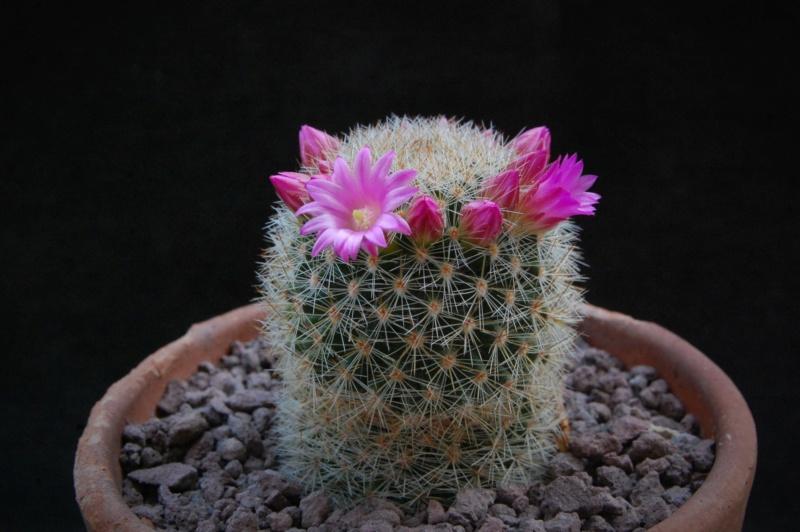Mammillaria spinosissima 2535-211