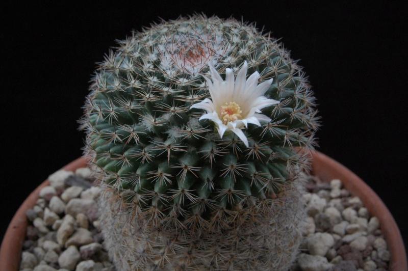 Mammillaria arroyensis       2544-211