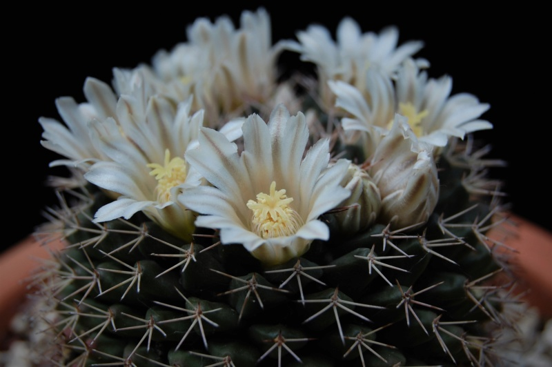 Mammillaria roseoalba 2618-211