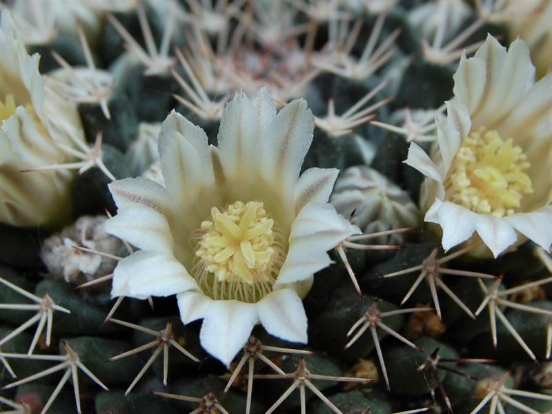 Mammillaria roseoalba 2618-213