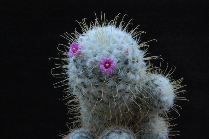 Mammillaria bombycina 2676-210
