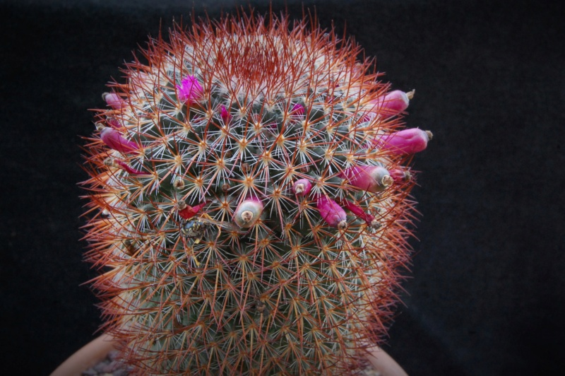 Mammillaria rhodantha 2741-210