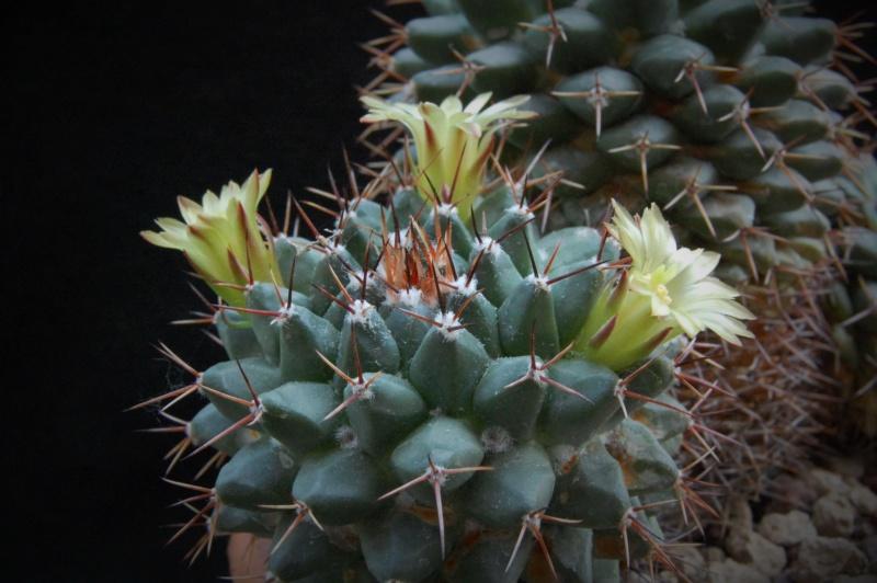 Mammillaria crassimammillis 2754-210