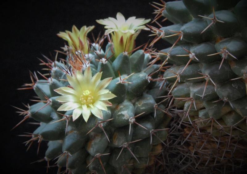 Mammillaria crassimammillis 2754-211