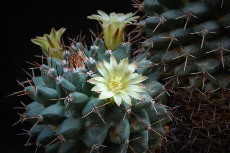 Mammillaria crassimammillis 2754-212