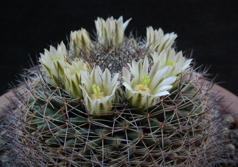 Mammillaria heyderi 3014-210