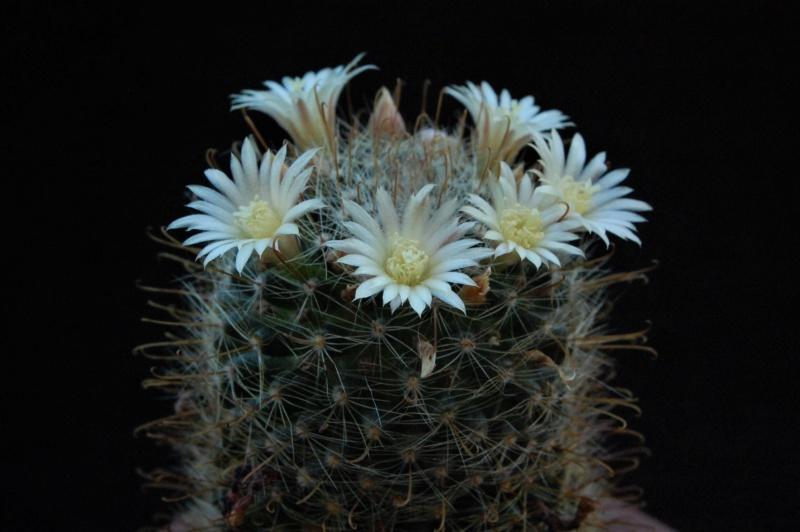 Mammillaria monancistracantha 3020-211