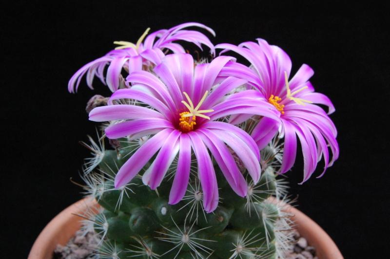 Mammillaria insularis 3067-211