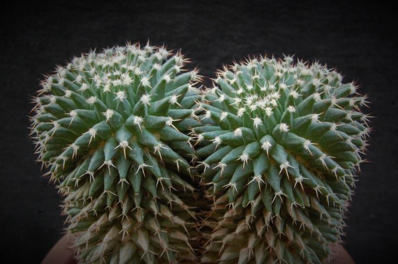 Mammillaria karwinskiana 3075-210