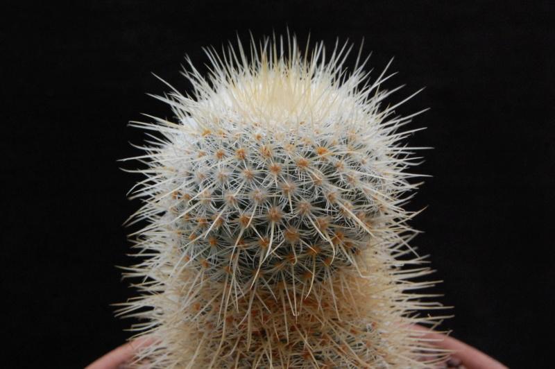 Mammillaria dixanthocentron 3118-210