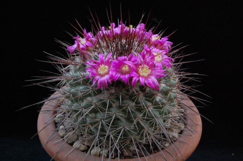 Mammillaria floresii 3124-210