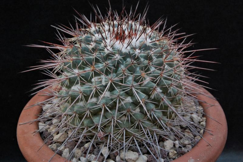 Mammillaria floresii 3124-211