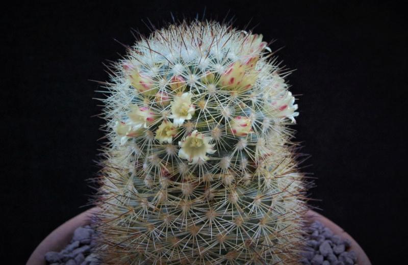 Mammillaria densispina 3127-210