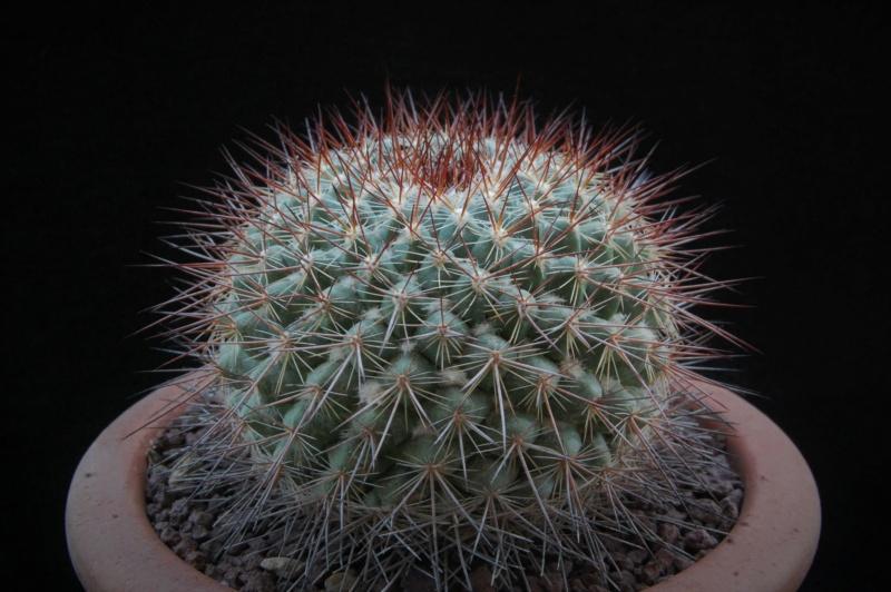 Mammillaria canelensis 3131-210
