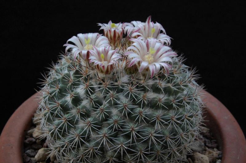 Mammillaria standleyi 3136-210