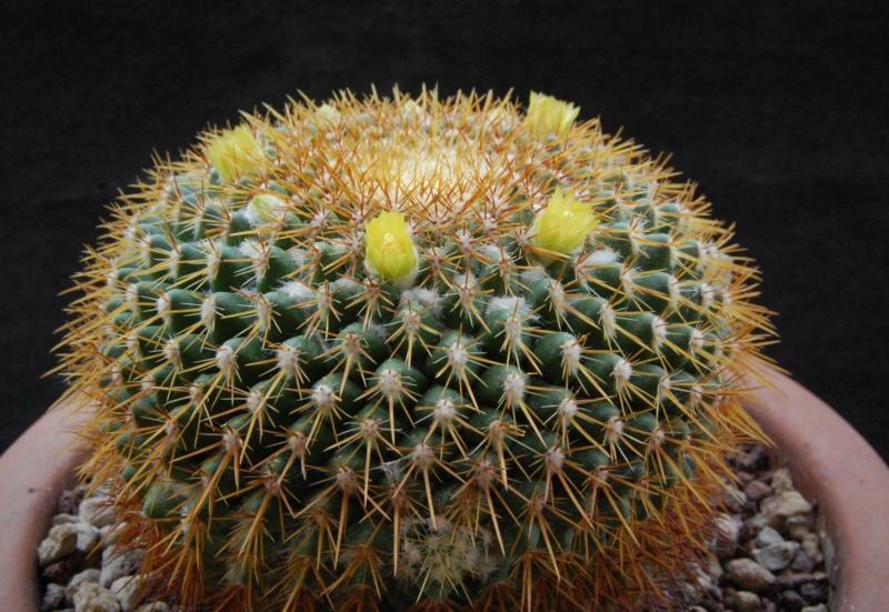 Mammillaria canelensis 3137-210