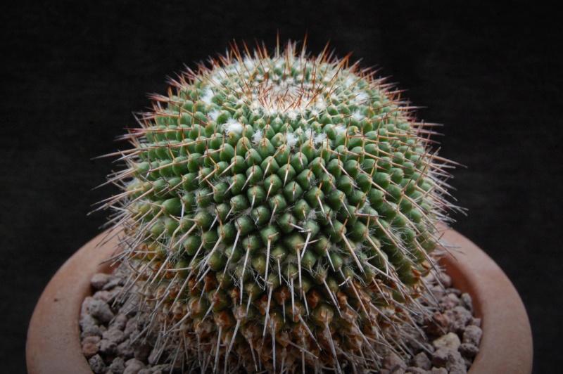 Mammillaria atarjeaensis 3138-211