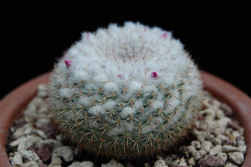 Mammillaria geminispina 3144-210
