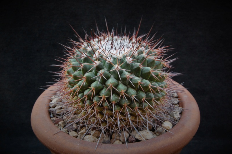 Mammillaria craigii 3178-210
