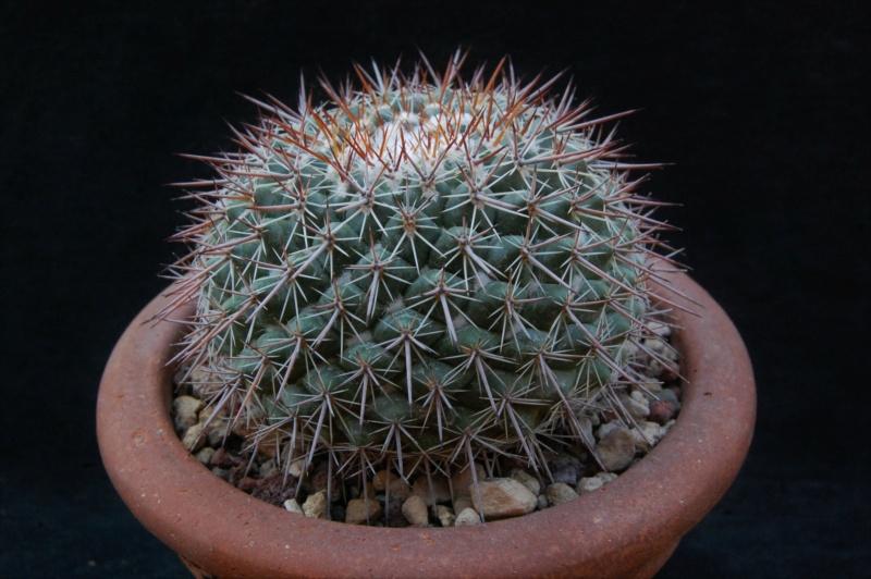 Mammillaria maycobensis 3196-211