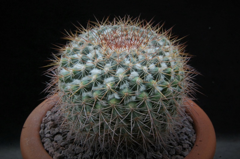 Mammillaria canelensis 3227-210