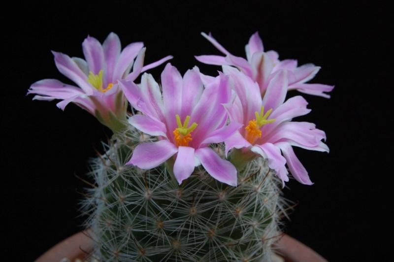 Mammillaria boolii 3286-210