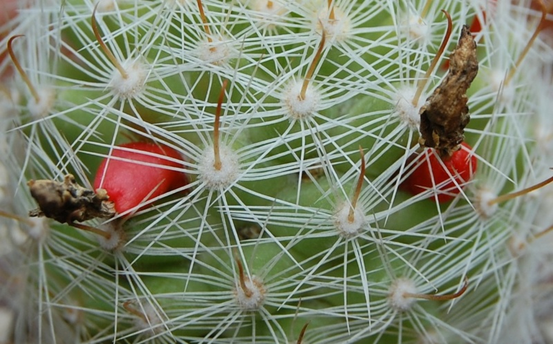 Mammillaria boolii 3286-212