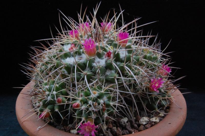 Mammillaria compressa 3296-210