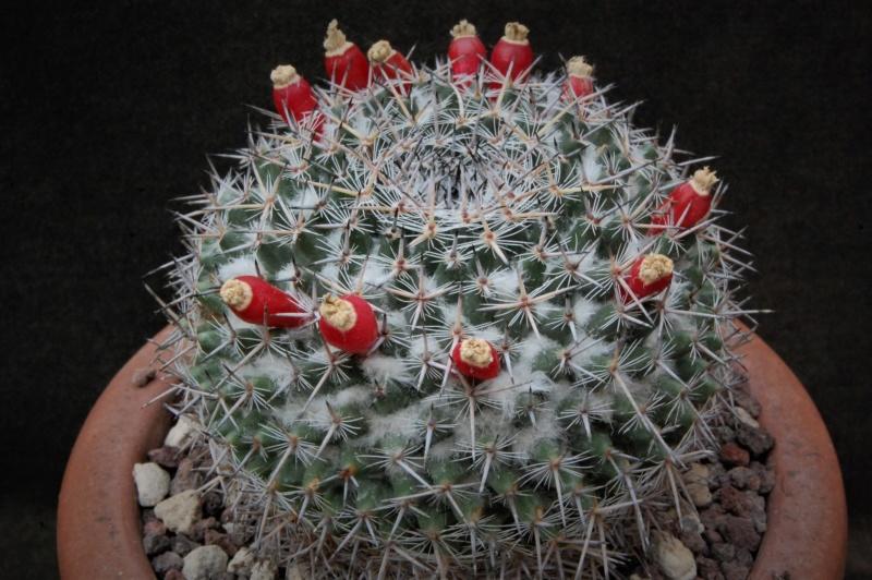 Mammillaria brauneana 3347-210