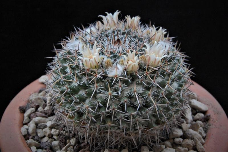 Mammillaria brauneana 3347-211