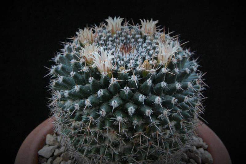 Mammillaria brauneana 3347-212