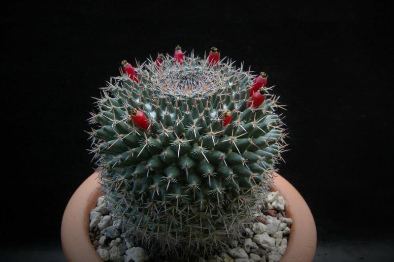Mammillaria brauneana 3347-213