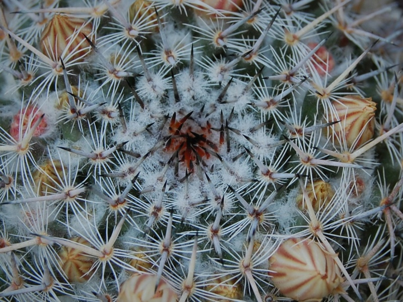 Mammillaria brauneana 3347-214