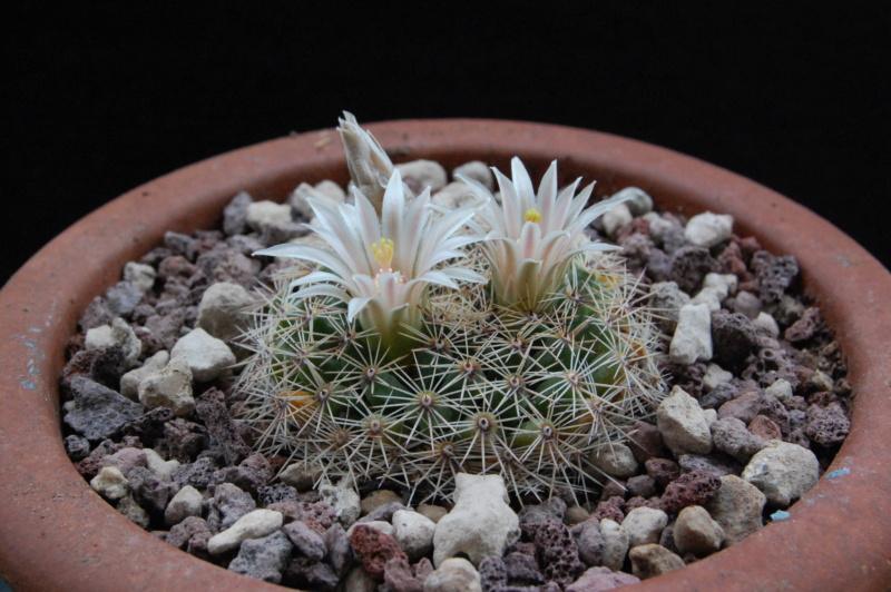 Mammillaria heyderi - Page 2 3361-210