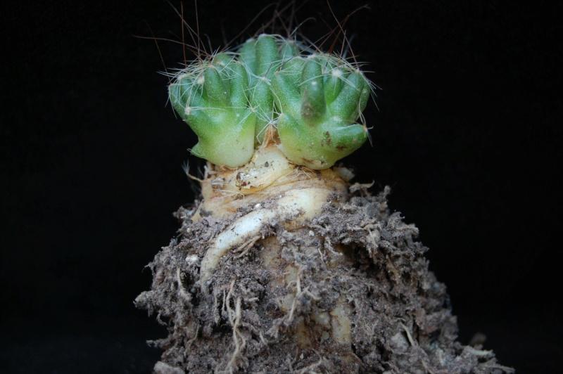 Mammillaria surculosa 3390-211
