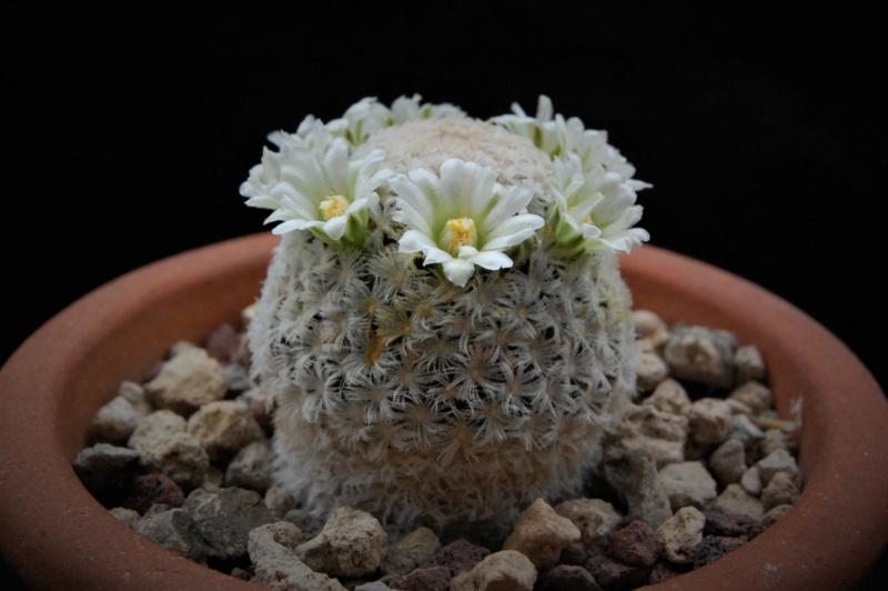 Mammillaria roemeri 3397-210