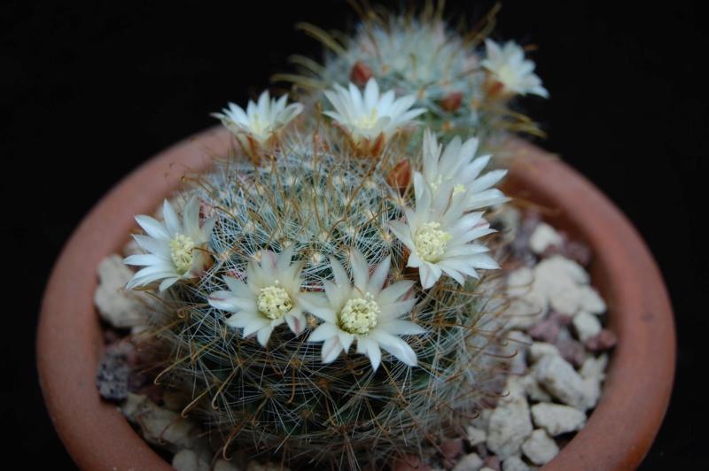 Mammillaria gilensis 3445-210