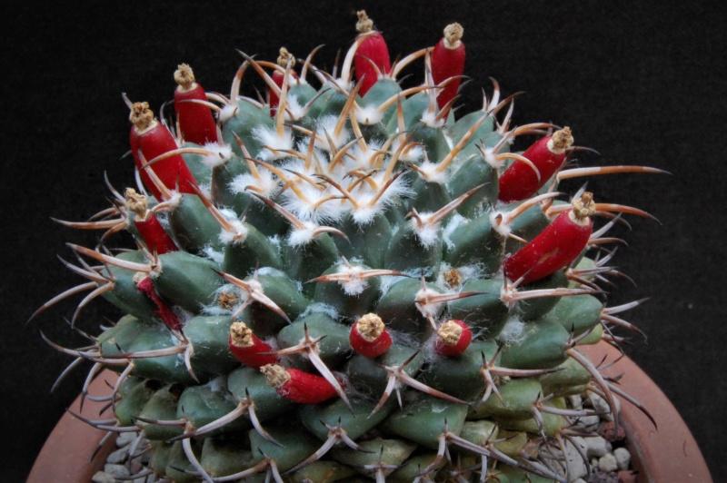 Mammillaria magnimamma 3452-211
