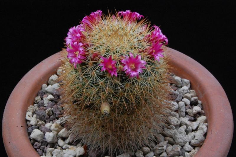 Mammillaria kladiwae 3460-210