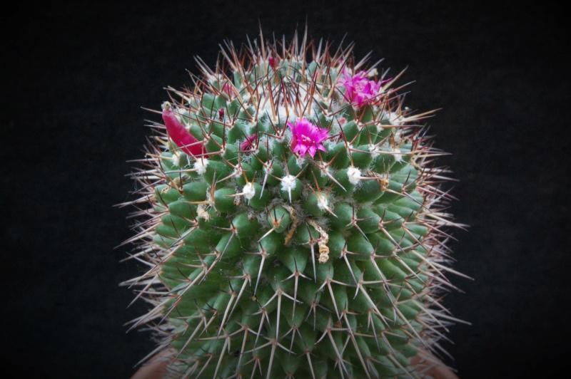 Mammillaria polythele 3489-210