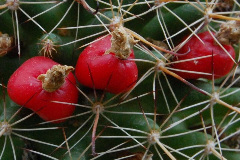 Mammillaria mainiae 3500-210
