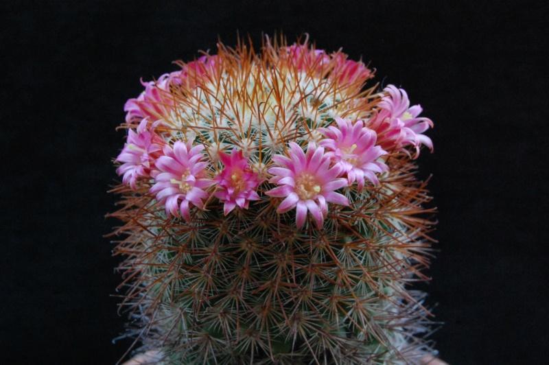 Mammillaria claviformis 3570-210
