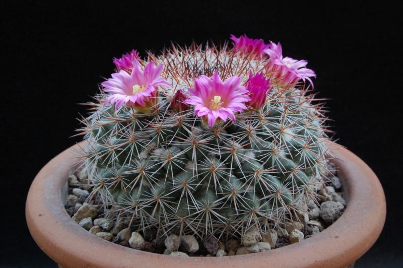 Mammillaria floresii 3585-210