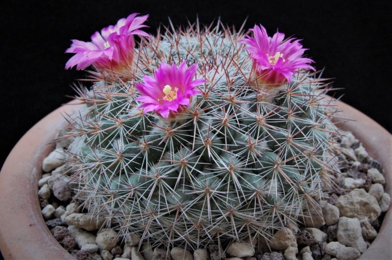 Mammillaria floresii 3585-211